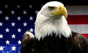 The American bald eagle with American flag background