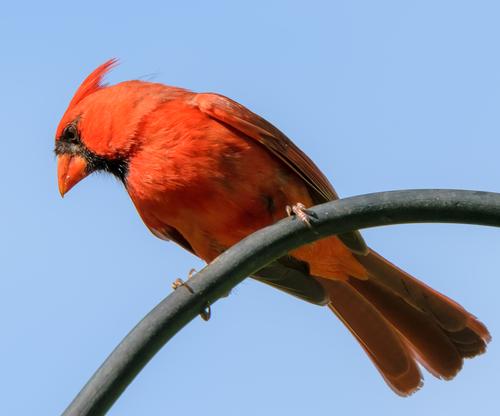 Male cardinal bird perching on pole