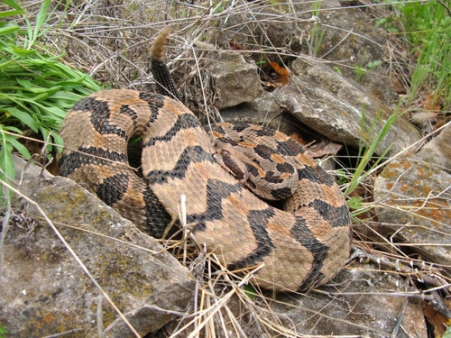 Rattling Timber Rattlesnake, Crotalus horridu